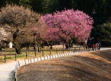 Śliwkowych drzew bloomin w Okayama Korakuen ogródzie Obrazy Stock