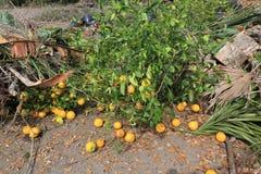Lixo do jardim na operação de descarga, descarga com laranjas foto de stock royalty free