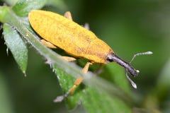 Lixus Angustatus. Macro Photo Of A Snout Beetle (Lixus Angustatus Stock Image