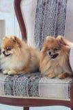 liying在一把大扶手椅子的两只美丽的pomeranian小狗 免版税图库摄影