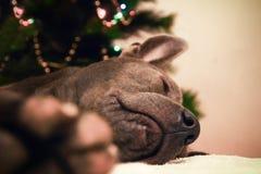 Liying und schlafende Weihnachtshunderotwild Lizenzfreies Stockfoto