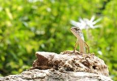 Lizad Стоковая Фотография