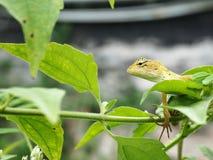 Lizad Стоковая Фотография RF