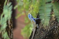 Lizar bleu, tache floue colorée de fond de beauté Un reptile photos stock
