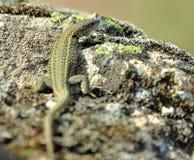 Lizar taking a sun-bath stock image