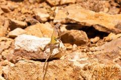 Lizard-1 замкнутое зеброй Стоковые Изображения RF