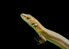 Free Lizard 1 Stock Photo - 19522820