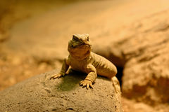 Lizard. A lizard sitting on a stone and looking satisfied Stock Photos