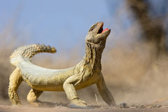 Lizard. In Kuwait desert last summer Stock Photos