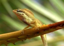 The Lizard. The small lizard on a leaf on St. Thomas, U.S.Virgin Islands Royalty Free Stock Photos