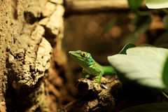 Lizard. Shot of a green lizard Royalty Free Stock Photos