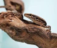 Lizard. The mural lizard, crawls at a tree Royalty Free Stock Photos