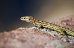 Lizard. A slim lizard on the rocks royalty free stock photo