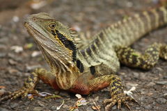 Lizard. Protected species of the Frill neck lizard Royalty Free Stock Images