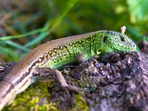 Lizard. The big green lizard on a meadow Stock Images