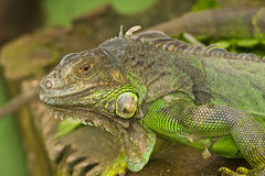 A lizard Royalty Free Stock Photography