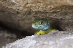 Lizard. In the National preserve Khortitsa - Ukraine Stock Photography