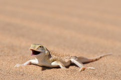 Lizard. The extremely well adapted desert lizard,is an fast inhabitant of the arid namib desert. Dances on the sand and will change feed in order not to overheat Royalty Free Stock Photography