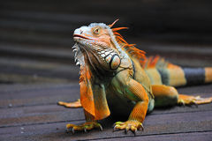Free Lizard Stock Photos - 13189113