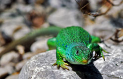 Lizard. Rar european lizard in spring Stock Images