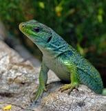 Lizard. Rar european lizard in spring Royalty Free Stock Photos