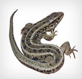 Lizard. Isolated on white background royalty free stock photography