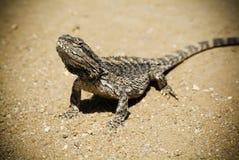 Lizard. Australian Bearded Dragon (Pogona vitticeps) basks in the sun on a dirt road stock images