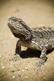 Lizard. Australian Bearded Dragon (Pogona vitticeps) basks in the sun on a dirt road stock photo