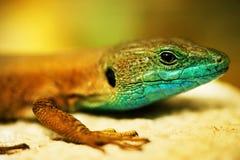 Lizard. Beautiful Wild Lizard close-up.Shallow DOF Stock Photos