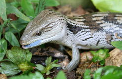 Lizard. A blue tongued lizard found in Australia showing off its tongue Royalty Free Stock Photo