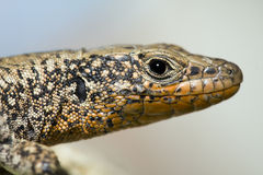 Lizard. A portrait shot of a lizard in real nature Royalty Free Stock Photos
