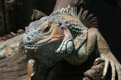 Lizard Stock Image