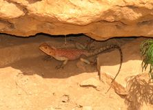 Free Lizard Royalty Free Stock Image - 182536