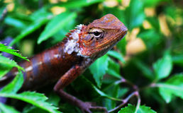 Free Lizard Royalty Free Stock Images - 18337549