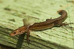 Free Lizard 2 Stock Image - 32437851