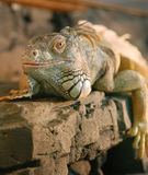 Lizard_2 Royalty Free Stock Photography