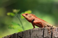 Lizard. Island on the timber in direct sunlight Stock Images