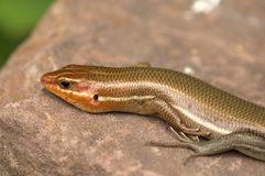 Lizard. Broad Headed skink lizard from North America Royalty Free Stock Images