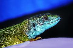 Lizard. Blue Lizard Animals Color Head Stock Photos
