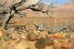 Lizard. Under saxaul in Ak-Tau (Altyn-Emel reservation Stock Image