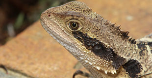 Lizard. Close-up of a lizard's face Stock Image