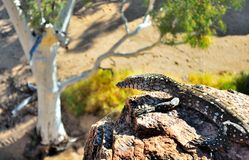 Lizard. A green and white spotted lizard laying on a rock Stock Images