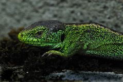 Lizard. Head of a Green lizard (true lizard, family Lacertidae) in the garden in South Germany stock photo