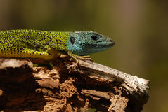 A lizard Royalty Free Stock Image