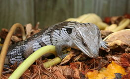 Lizard. A blue tongued lizard looking at some pawpaw in a garden setting Stock Images