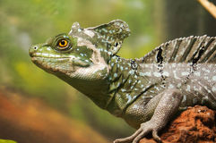 Free Lizard Royalty Free Stock Photos - 26630518