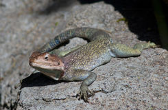 Lizard. Spotted multiple colored lizard Stock Photo