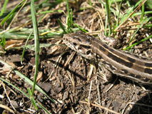 Lizard. A lizard is on the ground Stock Photo