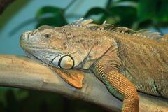 Lizard. Iguana lizard in terrarium, natural light Royalty Free Stock Photo