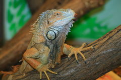 Lizard. Iguana lizard in terrarium, natural light Royalty Free Stock Images